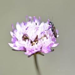 """""""Combinación de flora y fauna"""" - Tornasol. (EFD-fotolab) Tags: combinationoffloraandfauna lookingcloseonfriday españa flowers insectos floressilvestres nikkor105mm nikond610 nikon macrofotografia macro"""