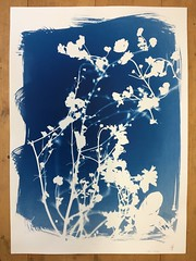 White shadows on blue 3/1 (verblickt) Tags: cyan cyanotypes photogram rayographie shadows shadow nature branches plants herbs autumn blue edeldruck print copy fineartprint