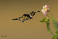 Ruby-throated Hummingbird (Stephen J Pollard (Loud Music Lover of Nature)) Tags: archilochuscolubris rubythroatedhummingbird colibrí hummingbird bird ave colibrígargantarubí