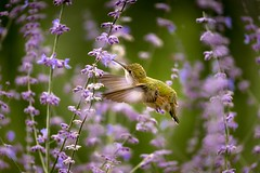 Juvenile Broad-tailed hummingbird (rigpa8) Tags: birds hummingbirds juveniles nature wildlife purple green flowers august