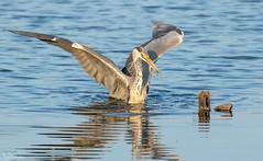 Heron and Catch (Steve (Hooky) Waddingham) Tags: animal countryside coast canon bird british nature northumberland fish fishing heron wild wildlife water photography planet