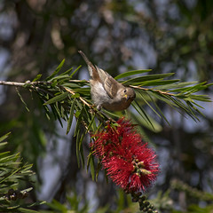 Scarlet Honeyeater (female) (womboyne7) Tags: bird honeyeater scarlet red brown small calistemon flower leaves green