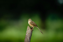 Sparrow on Bamboo (sahulalit) Tags: animal themes wildlife bird animals wild vertebrate perching people foreground nature day green color outdoors closeup
