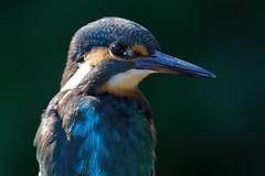 martin-pêcheur / Alcedo atthis 19D_9053 (Bernard Fabbro) Tags: alcedo atthis martinpêcheur kingfisher eisvogel oiseau bird