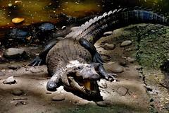 MEXICO,  Tabasco, Villahermosa- Parque-Museo de la Vento,  Fauna und Flora, Krokodil, 19260/11935 (roba66) Tags: reptil krokodil echse mexiko mexico mécico méjico nordamerika northamerica zentralamerika yukatanhalbinsel rundreise2017 roba66 yucatán tabasco villahermosa tier tiere animal animals creature parquemuseodelavento tierpark museumspark