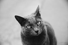 (kostavita) Tags: cat γάτα αναφιώτικα πλάκα anafiotika plaka athens greece αθήνα ελλάδα bnw bw blackandwhite ασπρόμαυρη littledoglaughednoiret