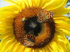 ** Des butineurs sont à l'oeuvre...** (Impatience_1 (Joyeuses Fêtes / Season's greetings) Tags: tournesol sunflower fleur flower belledame paintedlady papillon butterfly insecte insect bestiole butineur m impatience alittlebeauty abigfave supershot coth coth5 naturallywonderful wonderfulworldofflowers sunrays5 fantasticnature fabuleuse jaun