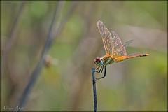 Libellula (adrianaaprati) Tags: libellula dragonfly september macro