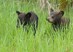 Black Bear cubs...#19 (Guy Lichter Photography - 5.1M views Thank you) Tags: canon 5d3 canada manitoba rmnp wildlife animal animals mammal mammals bear bears blackbear cub cubs