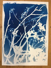 White shadows on blue 3/2 (verblickt) Tags: cyan cyanotypes photogram rayographie shadows shadow nature branches plants herbs autumn blue edeldruck print copy fineartprint