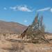 Samburu landscape with giraffe