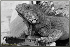 RETRATO DE UNA IGUANA. PORTRAIT OF AN IGUANA. GUAYAQUIL - ECUADOR. (ALBERTO CERVANTES PHOTOGRAPHY) Tags: animal iguana republicadelecuador ecuador guayaquil guayaquilecuador gye ecuadorguayaquil gyeecuador ecuadorgye guayas streetphotography photography photoborder photoart art creative indoor outdoor blur retrato portrait color colores colors brillo petphotography pet bright brightcolors closeup macro bokeh historia history icono iconic street calle faunasilvestre wildlife zoologico zoo parqueseminario park seminarypark monochrome blackwhite tree camp land field countryside groud realm selva jungle plant superbw bw
