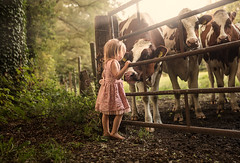 Getting to Know You ({jessica drossin}) Tags: jessicadrossin child cow netherlands farm fence toddler girl hair eyes friends rural cattle