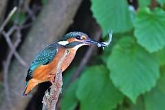 martin-pêcheur avec poisson / Alcedo atthis 19D_8259 (Bernard Fabbro) Tags: alcedo atthis martinpêcheur kingfisher eisvogel oiseau bird