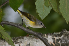 American Redstart (jt893x) Tags: 150600mm americanredstart bird d500 female jt893x nikon nikond500 redstart setophagaruticilla sigma sigma150600mmf563dgoshsms songbird warbler