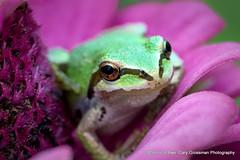 It's A Small World After All (Gary Grossman) Tags: frog zinnia flower amphibian macro closeup nature summer september oregon sauvie northwest garygrossman garygrossmanphotography macrophotography naturephotography pacificnorthwest