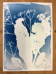 White shadows on blue 3/3 (verblickt) Tags: cyan cyanotypes photogram rayographie shadows shadow nature branches plants herbs autumn blue edeldruck print copy fineartprint