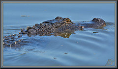 Always look behind you (WanaM3) Tags: nikon texas bayou pasadena clearlakecity d7100 horsepenbayou wanam3 nikond7100 nature animal outdoors gator reptile wildlife alligator canoeing predator paddling alligatormississippiensis apexpredator lumpylizard