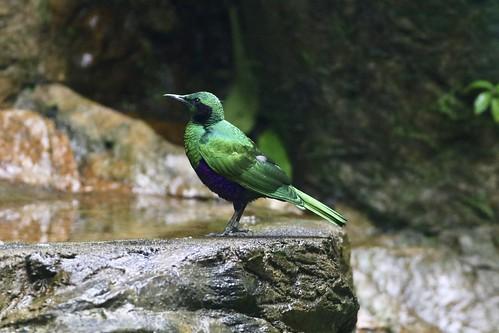 虹輝椋鳥(Emerald Starling)