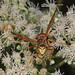 Paper Wasp - Polistes species, Meadowood SRMA, Mason Neck, Virginia