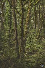lost in light 2019 (TheArtOfPhotographyByLouisRuth) Tags: trees treemendous treelimb tranquil landscape louisruthphotography lighting green fern wa pacificnorthwest artofimages nikond810 nikon24mmf18 moss outdoorwashington mystical lightray softlight experiencewa fadedwiltedwithered