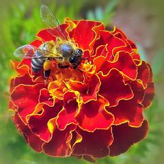 On a marigold (Ioannis Ks) Tags: bee marigold flower plant garden nature crete