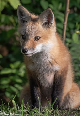 Red Fox Kit (NorthShoreTina) Tags: fox redfox foxkit
