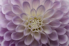Dahlia (Funchye) Tags: dahlia georgine flower nikon d750 blomst 105mm macro