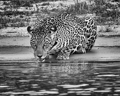 jaguar (tsd17) Tags: wildlife big cat jaguar pantanal canon 7dmk11