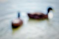 (.õ.õ) (Fencejo) Tags: fujifilmxe1 tamronspaf90mmf28dimacro11tammy fringereffxproadapter blur zaragozazgz ebro river ducks highkey