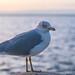 Ringed-billed gull on Lake Erie