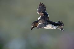 Razorbill (Artisanart) Tags: razorbill bird bempton east coast sea cliffs