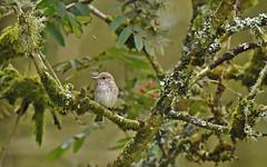 Spotted Flycatcher (debsiep1) Tags: spotted flycatcher bird dumfries galloway scotland