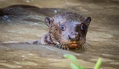 First Outing? (tsd17) Tags: pantanal porto jofre brazil giant river otter canon 7dmk11