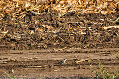 IMG_7139 (gidlark) Tags: animal chordata aves passeriformes motacillidae motacilla wagtail