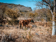 Horse2 (Est3ban.T) Tags: horse baby nature fauna day holidays catamarca chill animal domestic pretty cute composition tree nikon d3300 nikond3300 reflex dslr lightroom