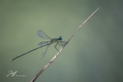 Libellule de la lône (Jeff-Photo) Tags: faune pleinair animal canon libellule lône nature rhône