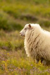 Iceland freeroaming sheep (Nils Croes) Tags: kjósarhreppur höfuðborgarsvæðið ijsland iceland sheep freeroaming nature tranquil animal free freedom roaming
