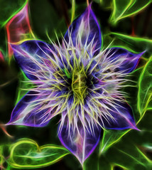 Clematis Electrica (LotusMoon Photography) Tags: fractalius flowers flower glow glowing photoshop photomanipulation glowwire annasheradon lotusmoonphotography