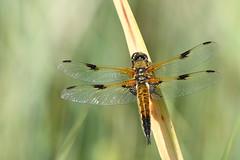 Libellula quadrimaculata (Helena Medunová) Tags: moravia nature vysočina vážka cz czechrepublic libellulidae libellula odonata insecta insects insect radešín dragonflies dragonfly