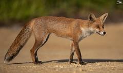 Urban Red Fox (Mick Erwin) Tags: vulpes urban red fox nikon afs 600mm f4e fl ed vr lens d850 mick erwin stoke trent staffordshire wildlife nature