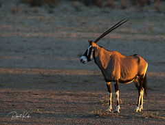 Gemsbok! (Jambo53 ()) Tags: gemsbok oryxgazella crobertkok wildlife mammal zoogdier kgalagaditransfrontierpark southafrica nikond800 500mmf4 nature natuur