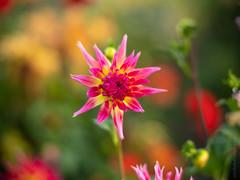 Rainbow Star Dahlia (www.mikereidphotography.com) Tags: gfx50s dahlia