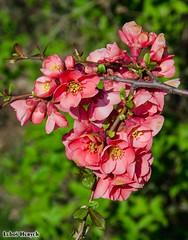 Růžové květy Kdoulovce / Pink blooms of Quince (Luboš Hurych) Tags: makro flowers květiny kytky zahrada jaro růžová pink růžový květ kdoulovec blossom bloom blooms garden macro