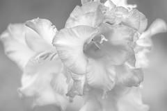 Softly Folded (NetAgra) Tags: highkey naturallight highlight lowcontrast lily flower summergarden day filter bw clouds shallowfocus blackwhite