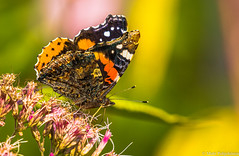 Amiraali (Vanessa atalanta), Red Admiral (IMG_0185LR) (pohjoma) Tags: amiraali hyönteinen hyönteiset perhonen päiväperhonen vanessaatalanta redadmiral canoneosrp canonef100400mmf4556lisiiusm canonextenderef14xiii macro nature wildlife insect butterfly wings lepidoptera finland