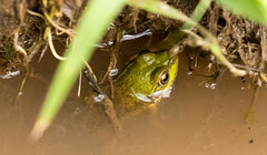 7K8A6501 (rpealit) Tags: scenery wildlife nature delaware water gap national refuge walpack area green frog