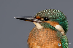 Kingfisher (Simon Stobart) Tags: kingfisher portrait alcedo atthis north east england uk