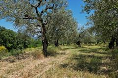 Verger d'olives (RIch-ART In PIXELS) Tags: auvergnerhônealpes france mirabelauxbaronnies vaucluse fujifilmxt20 xt20 landscape paysage tree