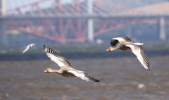 Greylags with an iconic backdrop (themadbirdlady) Tags: blacknessnt0580 anseriformes anatidae greylaggoose flight birdsinflight anseranser forthrailbridge riverforth firthofforth